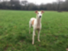 A white and tan lurcher standing in a secure dog field in Winter, surrounded by tall trees on a grey day in Devon
