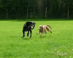 Saluki & Lurcher playing in paddock