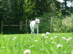 Whippet walking in enclosed paddock