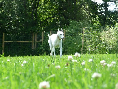 Whitewhippet with brown patches in  secure dog field, amongst wild flowers on a sunny day
