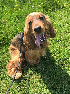 A red show cocker spaniel with his tongue hanging out, sitting on the green grass whilst out on a walk