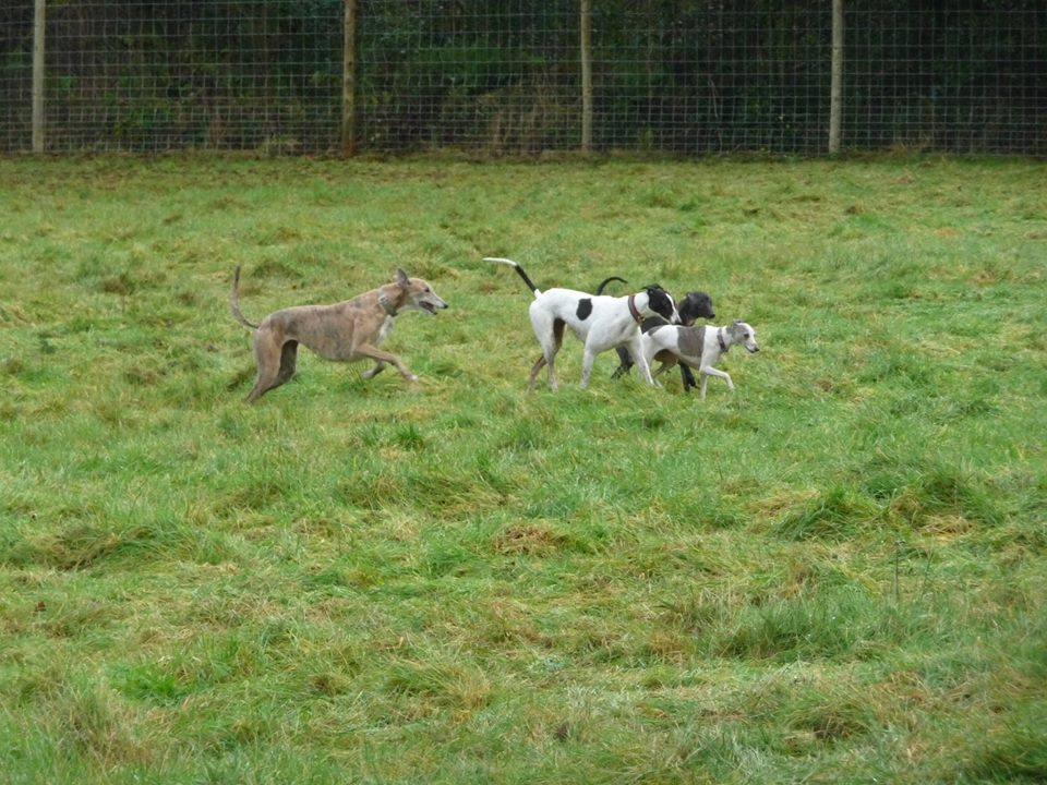 Sighthounds playing in dog field