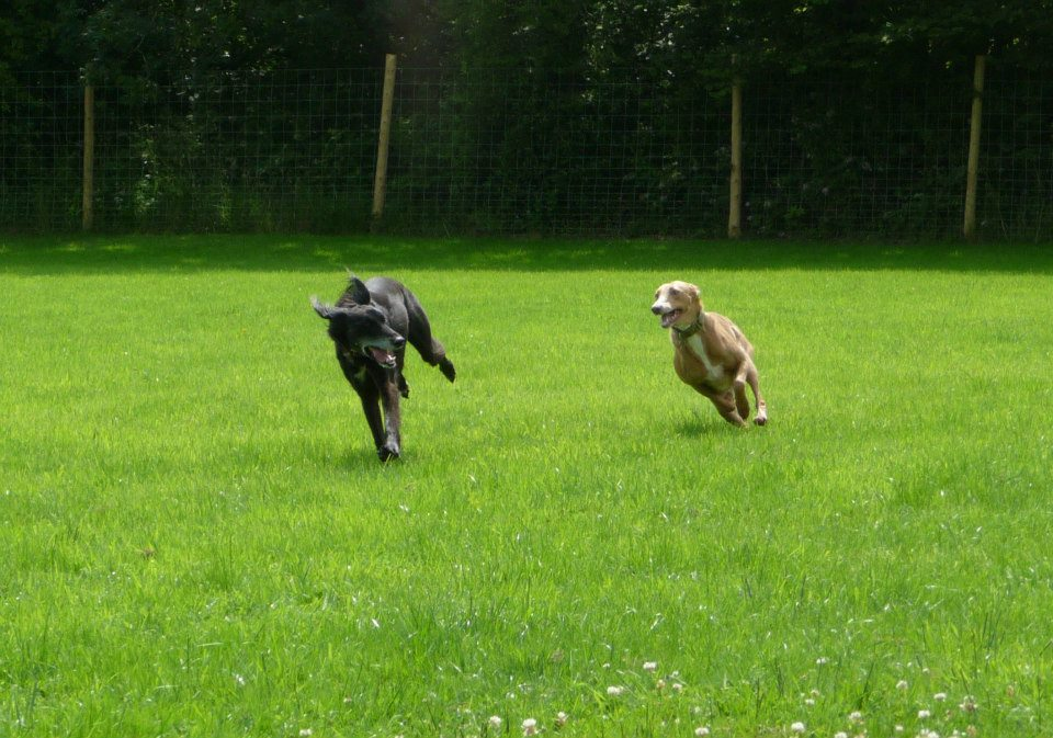 Lurchers running in dog field