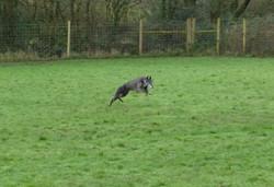 Greyhound in dog walking field