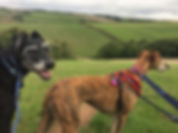 A black, elderly deerhound and a brindle lurcher enjoying a walk across fields with rolling hills, in Devon on a grey day