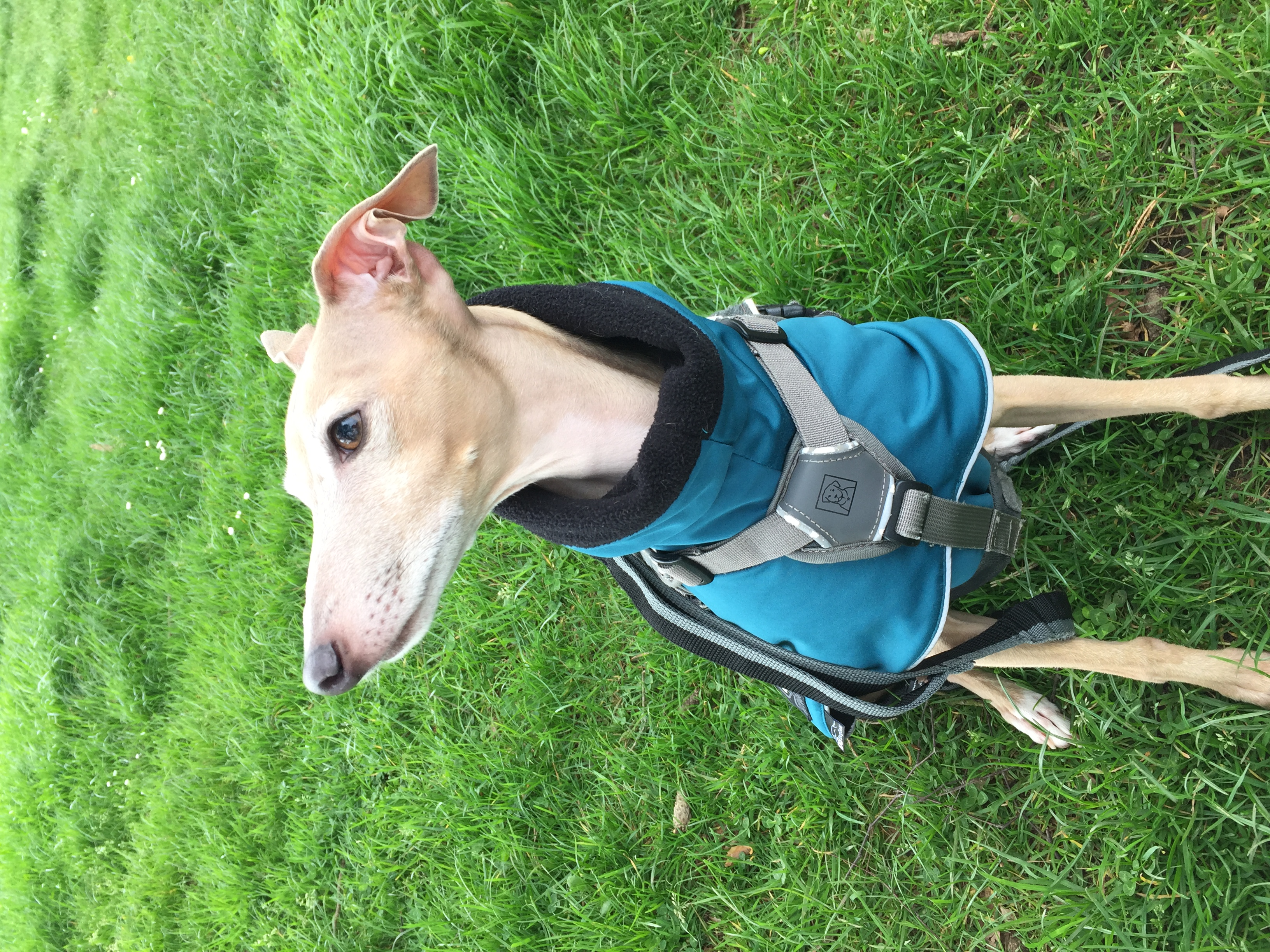 Italian greyhound on dog walk
