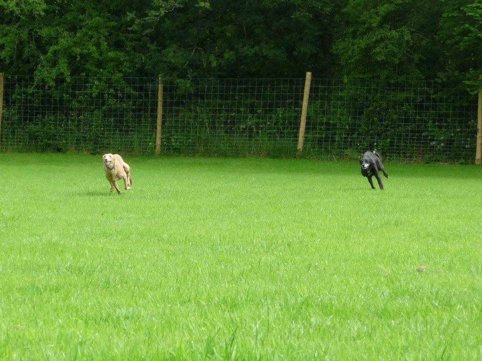 Sighthounds running in dog paddock
