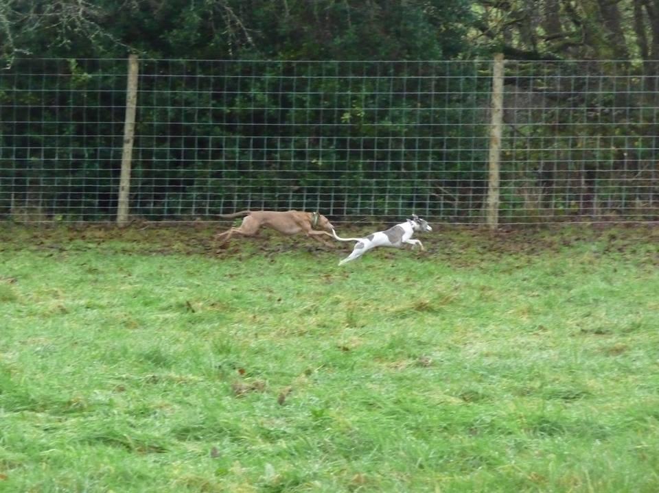 Lurcher & whippet running in field
