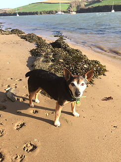 A black and brown Jack Russell Terrier walking along an estuary in Devon on a sunny day
