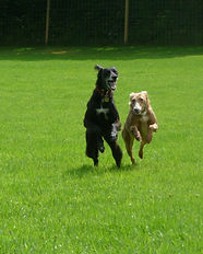A black feathered saluki running off lead with a medium sized brown lurcher in a secure dog field