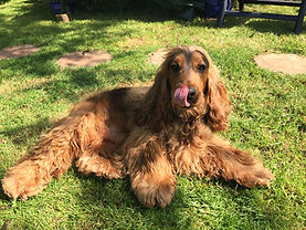 A red show cocker spaniel laying on the grass in a garden with his tongue sticking out after playing with his pet sitter