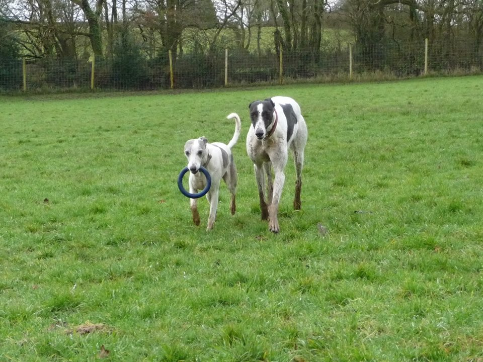Whippet & Greyhound in secure field