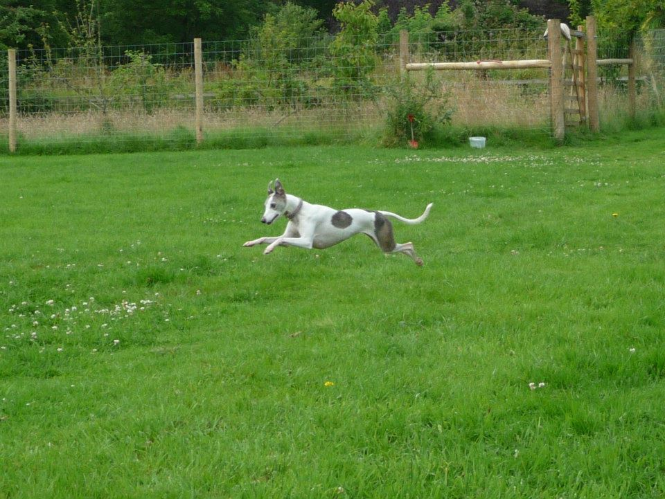 Whippet running in secure field