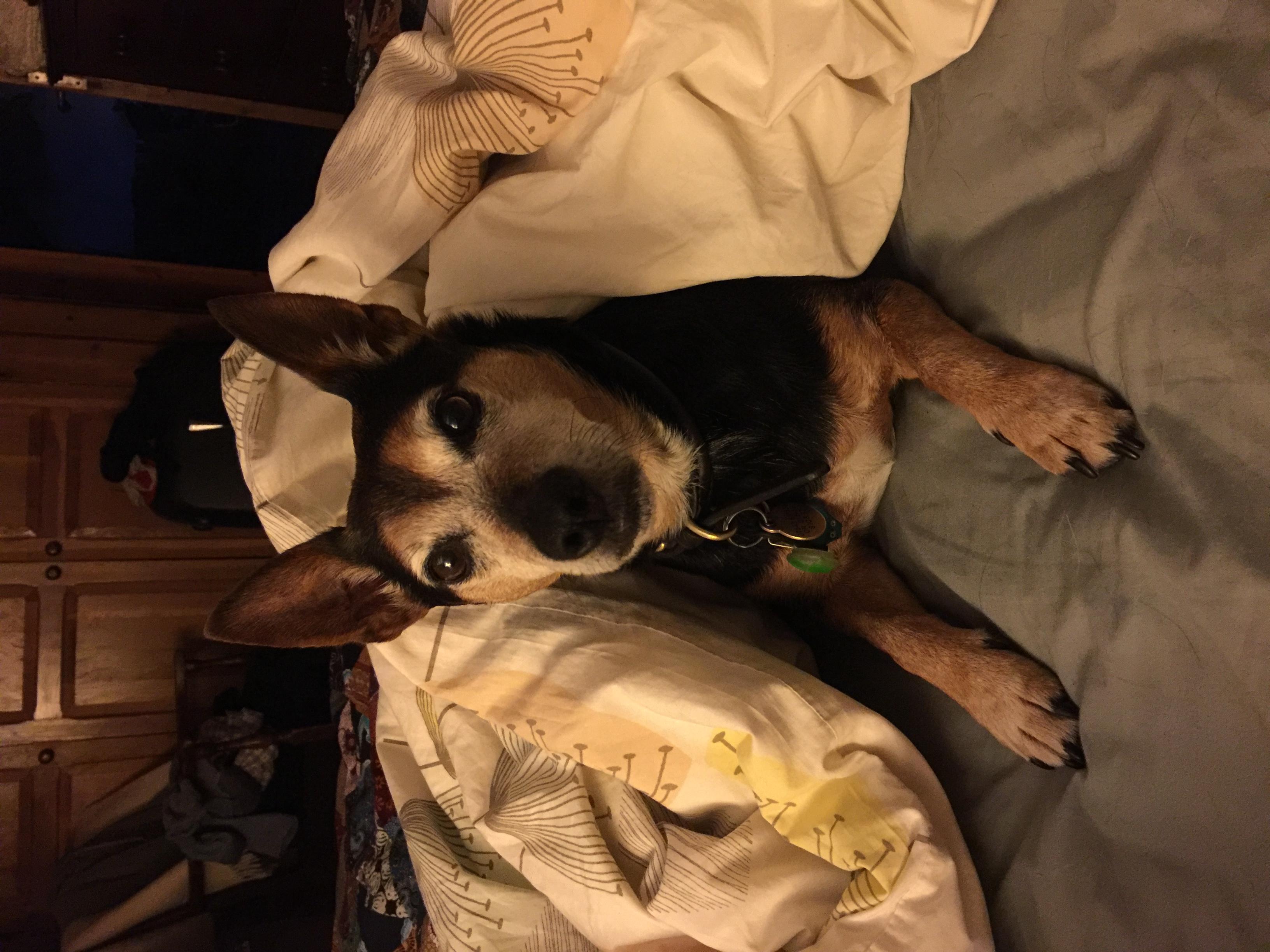 jack russell terrier under duvet