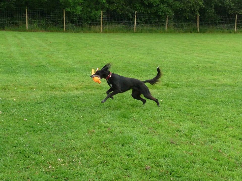 Saluki plating in secure dog field