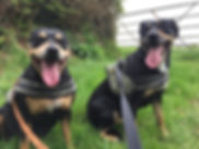 Two black and tan staffordshire bull terriers sitting on the grass whilst out on a country dog walk in Devon