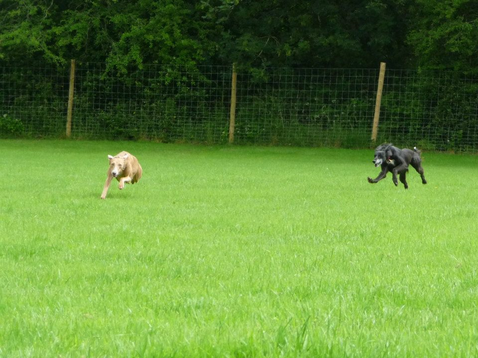 Lurchers playing in enclosed paddock