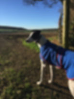 A white and black greyound wearing a blue fleece coat looking across a field on a sunny day