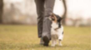 dog-walking-to-heel.jpg