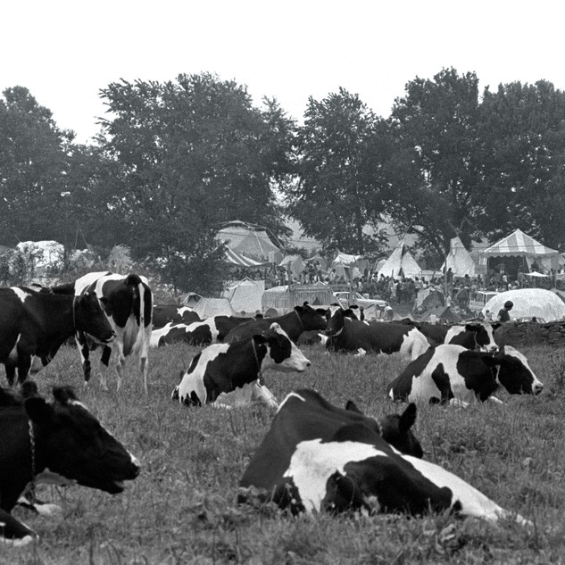 Woodstock Cows 1969