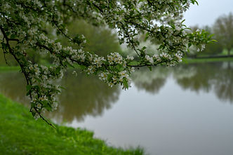 blossoms at the pond.jpg