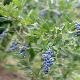 blueberry bush 2.jpg