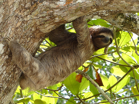 Sloths of Costa Ricas