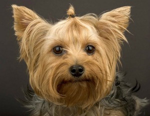 Yorkshire Terrier for blog.jpg