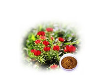 Rhodiola Rosea.jpg