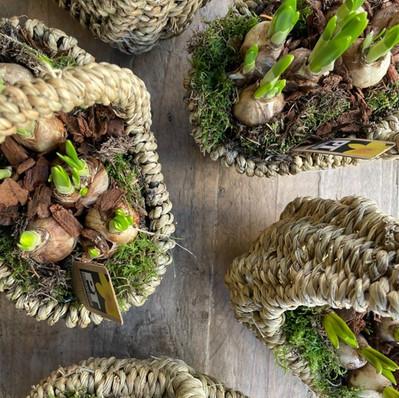 Planted Seasonal Bulb Baskets