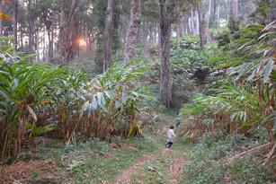 A cardamom forest