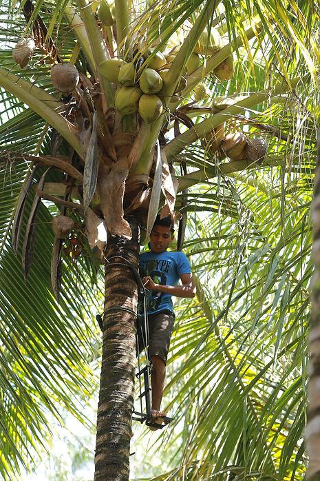 harvesting coconuts.JPG