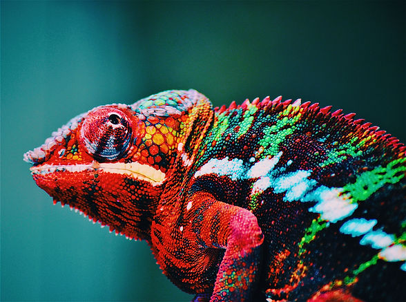 animal-blur-chameleon-close-up-567540.jp