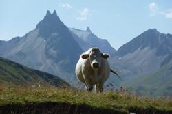 la vache ! JPG