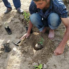 Plantation in progress-III