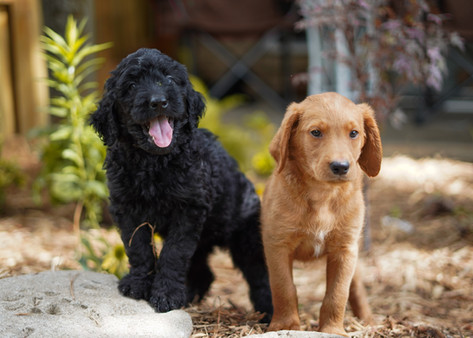 7 week old F1b Labradoodle Puppies from Esther