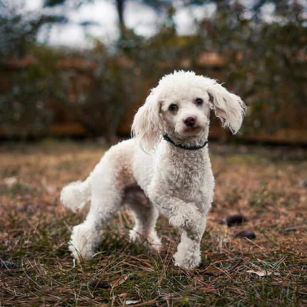 Daniel, Miniature Poodle