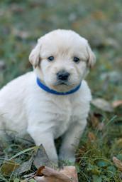 F1 Labradoodle Puppy