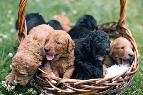 "Litter of ""Double Doodle"" Labradoodles (F1b)"
