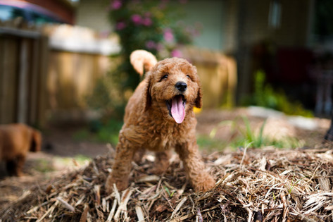 7 week old F1b Labradoodle Puppy from Esther