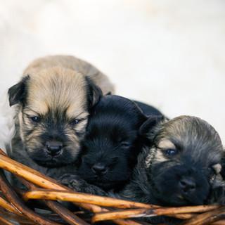 Paul, Rachel and Priscilla Havanese Puppies