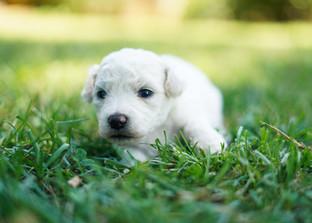 Bichon Frise Puppy