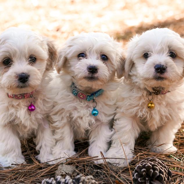Poo-Ton Puppies