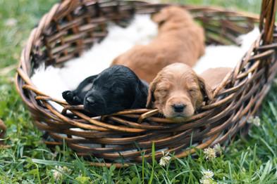 F1b Labradoodle Puppies