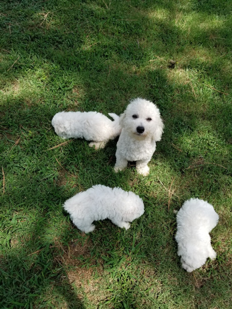 Selah with her Bichon Frise puppies