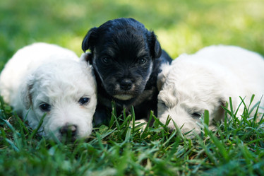Bichon Frise & Havachon Puppies