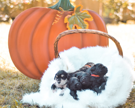 Standard schnoodle puppies from Grace and Carter