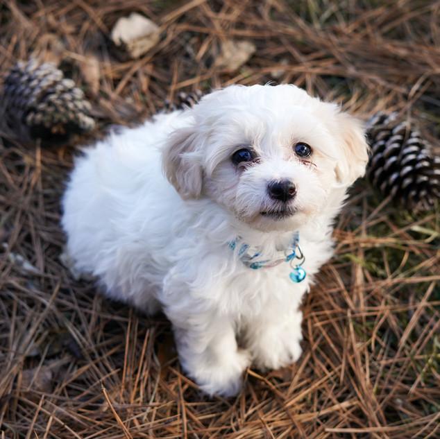 Poo-Ton Puppy