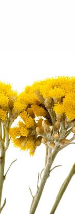 Helichrysum Immortelle