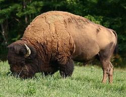 Buffalo Best